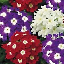 Verbena Obsession Eye Mix Seed Low Fast Growing Annual Free Flowering