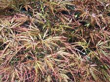 20 JAPANESE RED MAPLE SEEDS - acer palmatum var dissectum pendula nana