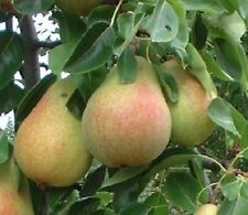 1X 3-4FT DWARF PYRUS CLAPPS FAVORITE PEAR TREE - MINI FRUIT TREE - 5L