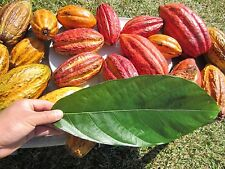 "36""-40"" Tall Plant Theobroma Cacao Cocoa Chocolate Tropical Fruit Tree Plant"