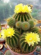 Parodia warasii, exotic flowering cacti rare flower cactus notocactus 100 SEEDS