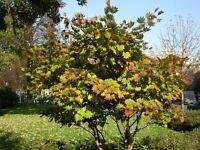 Acer shirasawanum Ogurayama JAPANESE FULLMOON MAPLE Seeds!