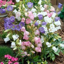 100 Canterbury Bells Mix colors Campanula Medium Flower Seeds + Gift