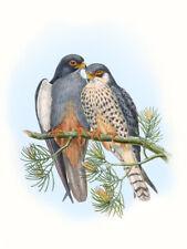 "Vintage John Gould Australian Bird Art CANVAS PRINT~ Perigrine Falcon 8""X10"""