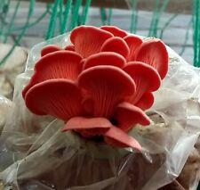 20 g Fresh PINK OYSTER Pleurotus Djamor Mycelium Mushroom Spawn Spores Seeds