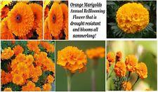 Orange Marigold Annual Flowers 100 + Seeds