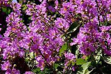 Embrujo de la India  LAGERSTROEMIA SPECIOSA - 9 Semillas - Jardín Flores - Samen
