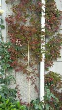 Parthenocissus Henryana climber Chinese Virginia creeper plants in 10.5cm pots