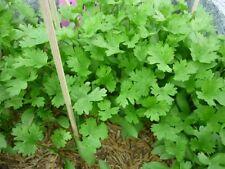400 Coriander( Coriandrum sativum, herb for health)