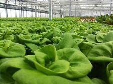 """3000 WHITE BOSTON LETTUCE 12"""" Green Butterhead Lactuca Sativa Vegetable Seeds"""