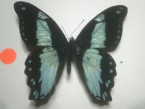 Real Insect/Butterfly/Moth Set Spread B7735 Deep Blue/Black Papilio bromius