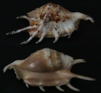 Seashells Lambis lambis  SPIDER CONCH  91 mm F+++/GEM  Superb  marine specimen