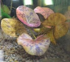 Live Aquarium Plants - Red Tiger Lotus - Nymphaea zenkeri - Lily