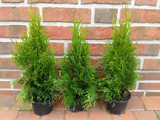 40 Stück Thuja occidentalis Smaragd, Edelthuja, Höhe: 30-40 cm ab Topf, Zypresse