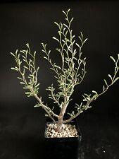 Senna meridionalis - rare, madagascar, commiphora, delonix, caudiciform, caudex