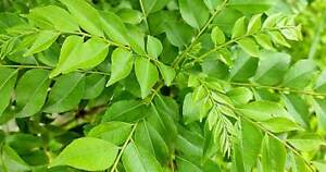 CURRY LEAF MURRAYA KOIENGI LIMDDI PATTA  MIXED SIZE 20-45CM IN 1LTR  LESS LEAVES