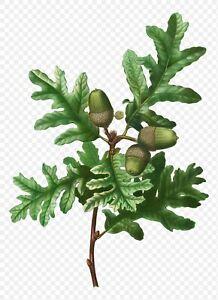 Quercus pyrenaica (Pyrenean oak) - Plant