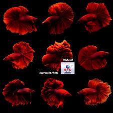 "Male Betta Fish ""Royal Red Emperor"" HM Premium Grade from Thailand"