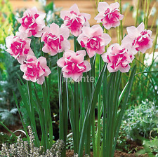 Mixed 400 Narcissus Duo Bulbs Daffodil Plant Flower Seeds Scented Pastel UK