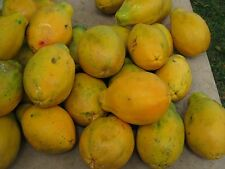 Oficina Papaya 10 semillas-liveseeds