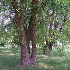Northern River Birch Tree Seeds (Betula nigra) 50+Seeds