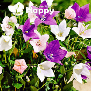 Balloon Flower Bellflower MIX - 300 SEEDS - Platycodon Grandiflorus - Perennial