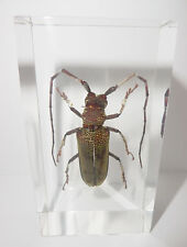 Gray Longhorn Beetle Batocera hercules in Clear Block Education Insect Specimen