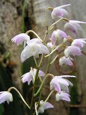 Orchid Dendrobium Native - 2 keikie canes. Matures 60cm length