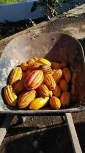 10 Fresh, Sustainably-Grown Cacao Pods from Puerto Rico