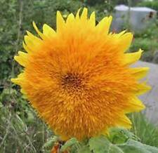 SUNFLOWER, GIANT SUNGOLD 500 SEEDS ORGANIC LARGE BEAUTIFUL VIVID COLORFUL BLOOMS