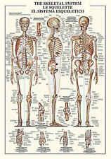The Skeletal System Chart Education Human Anatomy Bone Print Poster 27x38.5