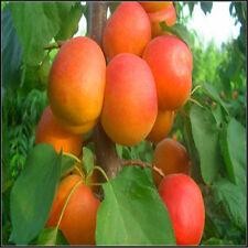Apricot Seeds Organic B17 Vitamin Extract Capsules Hunza Seed Fruit Bonsai 5Pcs