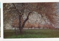 Apple Blossom Time in Virginia USA Old Postcard 090a