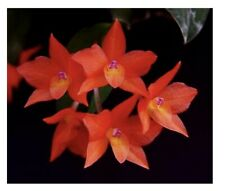 Sophronitis cernua, miniature Cattleya, Orchid species, plant