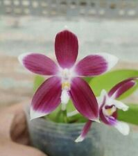Phalaenopsis tetraspis (C1 special) species Orchid Plant in spike