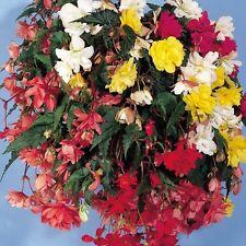 Begonia - Illumination Mixed F1 - 50 Seeds