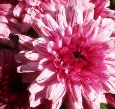 Pink Light Pink Mum Chrysanthemum Seeds 400+ Seeds (1/2 ounce) + 1 Plant Marker