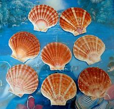 EIGHT (8) IRISH FLAT SCALLOP SEA SHELLS BEACH  DECOR NAUTICAL CRAFT TROPICAL