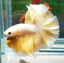 LIVE SIAMESE FIGHTING FISH FARM HIGH QUALITY BETTA MALE HALFMOON DRAGON YELLOW