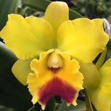 Lc. Lemon Drop 'Nn' Orchid Plant