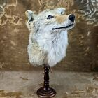 br04 Taxidermy Oddities Curiosity Prairie Wolf coyote Head mount Collectible