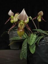 a growth(a plant) Paphiopedilum  canhii