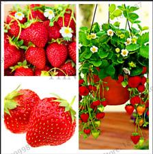 Red Giant Arrampicata FRAGOLA 100 PEZZI Semi Piante Frutta Casa Giardino Bonsai 2021