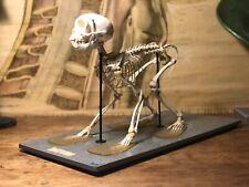 Vintage RHESUS MACAQUE SKELETON anatomy TAXIDERMY educational MONKEY 1950's