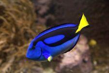 Small Regal Tang Marine Saltwater Fish