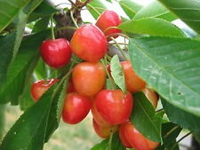Merton Glory Cherry Tree 4-5 ft Large, Red-Flushed, Sweet & Juicy Cherries