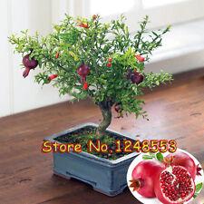 Acer Palmatum Arce GRANADA MULTICOLOR 20 semillas Bonsai arce japones