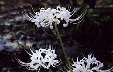 White Spider Lily Bulbs Lycoris Perennial Charming Flower Essential Bonsai Rare
