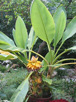 Banana Tree Musa Truly Tiny Live Plant Banana 3-Inch Deep Pot Houseplant