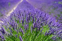 "5 Samen Lavendel /""Munstead/"" Lavandula angustifolia #847"